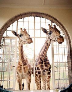 Giraffe and giraffe. I wish I could have one. ;(