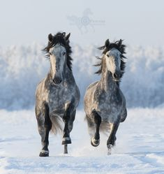 Two galloping Andalusian stallions - Two galloping Andalusian horses. Left horse are in focus.