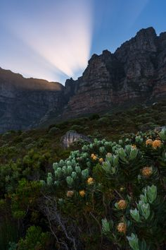 Sun beams and pin cushion protea (Leucospermum cuneiforme) aplenty from the hike up Kasteelspoort. This has to be one of the best routes up Table Mountain. What's yours? Table Mountain, Cape Town, Beams, Landscape Photography, South Africa, Jay, Cushion, Hiking, Adventure