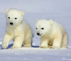 Polar bear pups