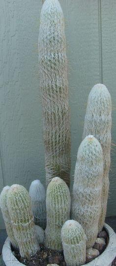 """Cephalocereus senilis, """"old man cactus"""""""