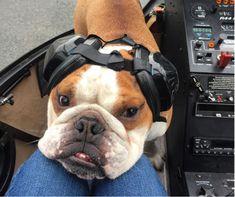 Bulldog aventurier qui monte à bord d'un hélicoptère