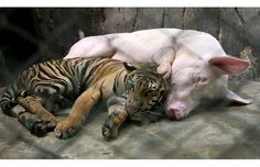 A tiger and pig snooze at the Sriracha Tiger Zoo, Sriracha, near Pattaya, the host city for the Association of South East Asian Nations (ASEAN) plus six summit, a popular beach resort in Thailand, about 160 km south east of Bangkok