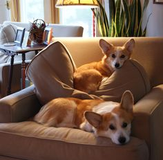 The only thing better than a corgi is two corgis! (They WILL gang up in you, though).