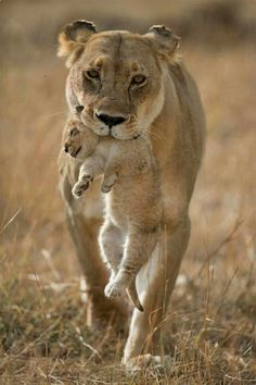 Lioness carrying her cub gently in her powerful jaws.