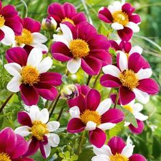 for two Twynings Smartie Specialty Dahlia - 2 Top Size Root Clumps - Hirt s  Gardens 690081dcf