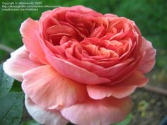 PlantFiles Pictures: Shrub Rose 'Chippendale' (Rosa) by Microworld
