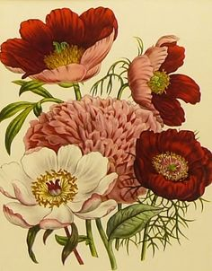 botanical print peony