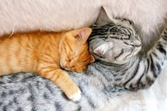 cute ginger kitten and tabby cat snoozing