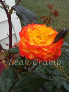 Rose 'Charisma' 2018 Plants, Planting Flowers, Flowers, Plant Pictures, Rose
