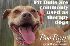 Pit Bulls are commonly used as therapy dogs.  Whether they are visiting a senior care facility or helping someone recover from an emotional accident, Pit Bulls are making a mark as outstanding therapy dogs.