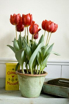 Tulip cheer indoors. (The pot's green is one of my favourite colours, especially for a kitchen.)