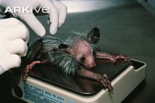 Aye-aye newborn on day of birth