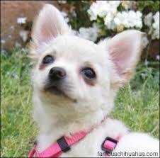 chihuahua -beaut