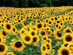 I Love Sunflowers