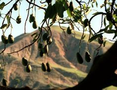 Help for avocado trees: How to boost health and improve harvests