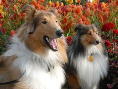 The difference between Collies and Shetland Sheepdogs, aka Shelties. Seen in 'Best Dog Breeds'