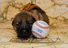 German shepherd puppy baseball.  2013