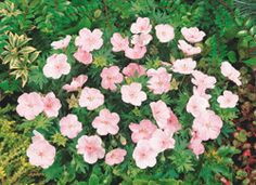 "GERANIUM  Vision Light Pink  Geranium 'Vision Light Pink'  Height:	12-16""  Spread:	12-18""  Flowers:	Light pink  Blooms:	6-8 weeks, starting May  Zone:	3-8  Soil:	Does well in most conditions  Additional Information:  Cut back by 2/3 for second bloom. Try planting with Coreopsis, Geum, Liatris."