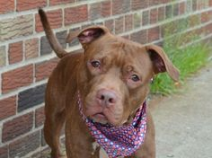 TO BE DESTROYED - 05/27/14  Brooklyn Center -P   My name is DAY DAY. My Animal ID # is A0999846.  I am a male br brindle and white pit bull mix. The shelter thinks I am about 3 YEARS old.   I came in the shelter as a OWNER SUR on 05/14/2014 from NY 11207, owner surrender reason stated was MOVE2PRIVA.