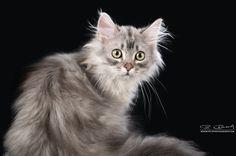 Sanju von Delandra, Deutsch Langhaar Kater blue silver maccerel tabby Warrior Cats, Siberian Cat, Tier Fotos, Big Cats, Bellisima, Blue And Silver, Smile, Animales, Kittens