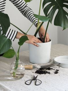 Propagating a monstera plant couldn't be easier – these resilient tropical plants with their broad, heart-shaped leaves just keep on giving Indoor Tropical Plants, Potted Plants, Garden Plants, Garden Sofa, Cactus Plants, House Plants Decor, Plant Decor, Monstera Deliciosa, String Garden