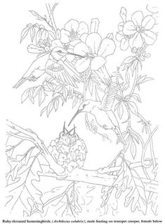 Humming Bird Coloring pages colouring adult detailed advanced printable Kleuren voor volwassenen coloriage pour adulte anti-stress kleurplaat voor volwassenen http://s39.photobucket.com/user/tharens/slideshow/coloring pages/?albumview=slideshow