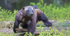 TAKE ACTION!  Please don't just repin!  Tell Secretary Jewell to do the right thing and give wolverines the protection they deserve.  Get going!
