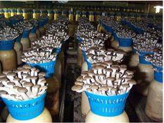 Japanese mushroom farm at Hokto Kinoko