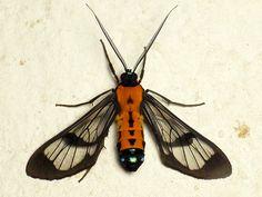 Wasp moth, Cosmosoma or Sarosa sp.? Ctenuchinae