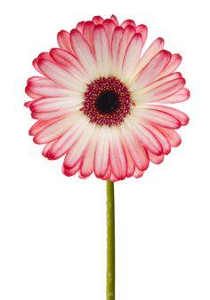 pink gerbera - Cerca con Google