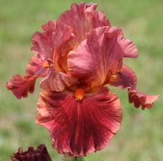 Tall Bearded Iris (Iris 'Drinks at Sunset') in the Irises Database - Garden.org