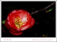 chinese flowering apple