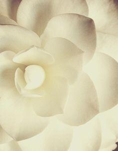 Ah, Gardenias...