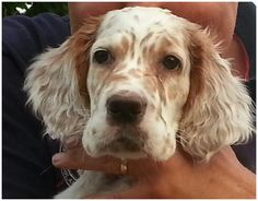 Charley❤️ the English Setter pup
