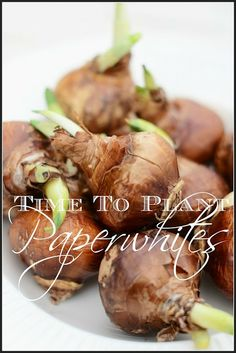 StoneGable blog: How to force paperwhite flowers so they will be pretty for Christmas decorating