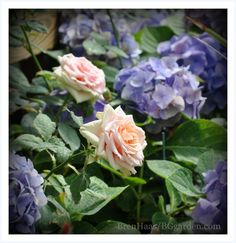 Pink Roses and Blue Hydrangea