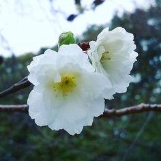 【hogisienne】さんのInstagramをピンしています。 《2016.10.10 セーターを羽織りたくなるような肌寒い午後です。  志村ふくみ展を観に行こうと世田谷公園の小道を歩いていると、焦茶色の枝にふわ~っと白い花がたくさん咲いている木を発見。 「子福桜」というのだそうです。  春と秋~冬にかけて一年に2度咲く桜で十月桜と似ていますが、十月桜が一重なのに対してこちらは八重。 普通八重咲きの桜は結実しにくいのだそうですが、一つの花に複数の雌しべがあるために1~3つの果実がなるというところから、この名前がつけられているそうです。  #cherryblossom #fleur #flower #flowers #flowerstagram #flowerpic #flowerlovers #naturelovers #flowerstagram #floral_perfection #flower_beauties #naturelovers #mygarden #autumnishere #the_sence_of_wonder #神無月 #秋草 #秋の花 #桜…