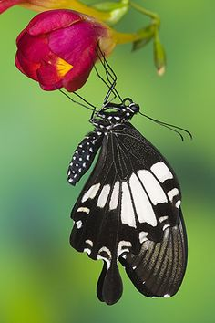 papilio nephelus-black and white helen butterfly