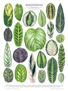 My full Marantaceae illustration featuring species and hybrids of Calathea, Maranta, Stromanthe, and Ctenanthe. This is just a sampling of… Tropical Plants, Cactus Plants, Garden Plants, Indoor Plants, Indoor Gardening Supplies, Container Gardening, Vegetable Gardening, House Plants Decor, Plant Decor