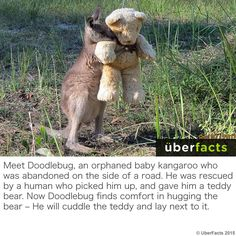 He Loves His Teddy - Koala Funny - Funny Koala meme - - He Loves His Teddy Koala Funny He Loves His Teddy The post He Loves His Teddy appeared first on Gag Dad. The post He Loves His Teddy appeared first on Gag Dad. Koala Meme, Funny Koala, Funny Animals, Cute Animals, Zoo Animals, Funny Photos, Cute Pictures, Hilarious Pictures, Funny Images