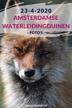Ik maakte een wandeling in de Amsterdamse Waterleidingduinen. Dit keer zag ik een paar kikkers en boomkikkers, damherten, een vos en een zandhagedis. Mijn foto's zie je hier. Kijk je mee? #awd #kikker #boomkikker #zandhagedis #vos #damhert #wandelen #hiken #natuur #jtravel #jtravelblog #fotos