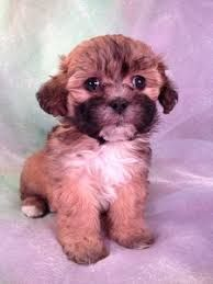 Image Result For Teddy Bear Schnoodle Puppies For Sale Teddy Bear Puppies Schnoodle Puppy Cute Animals