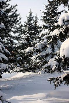 """Pinheiros cobertos de neve / Snow covered pine trees"" by Marcio Cabral de Moura on Flickr - These are snow covered pine trees by the side of Lasalle underground station, Verdun, Montreal, Canada."