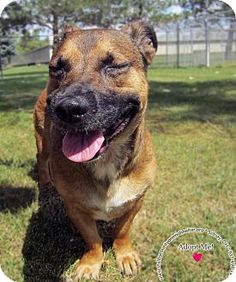 URGENT!!! I am at a full, kill shelter in Sidney, OH - Shepherd (Unknown Type) Mix. Meet Chuck, a dog for adoption. http://www.adoptapet.com/pet/16600234-sidney-ohio-shepherd-unknown-type-mix