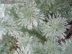 Deer and drought resistant, wormwood (also referred to as mugwort or Artemisia) is a perennial with stunning silvery color making it an excellent choice for the landscape