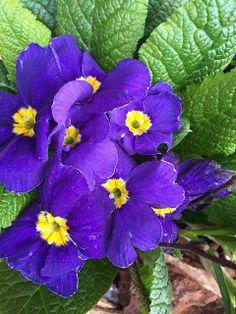 Blühende Frühlingsboten - so schön! #edgarten #gartenblog #frühling Plants, Natural Garden, Shade Perennials, Card Crafts, Nice Asses, Plant, Planets