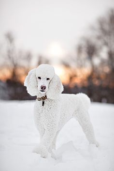 La Mookie de Pais de Cordova. My children's dog growing up (Mookie) Spaniard Royalty.
