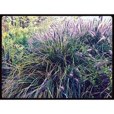 """""""Yep- my favorite of all flowers again :-) wild grass in the field... just speaks to me peace, fresh air & a bit of sunshine! village. #field #grass #wild #nature #memories #garden #fall #poacea #earth #mothernature #prairie #wildflowers #seedheads #ecosystem"""" Photo taken by @akaaki157 on Instagram, pinned via the InstaPin iOS App! http://www.instapinapp.com (11/11/2015)"""