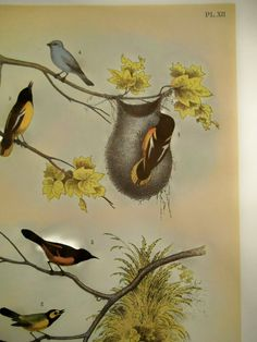 Vintage BALTIMORE ORIOLE Bird Print from Studers Birds Blue